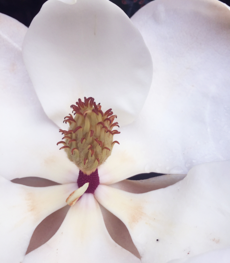 MagnoliaDetail