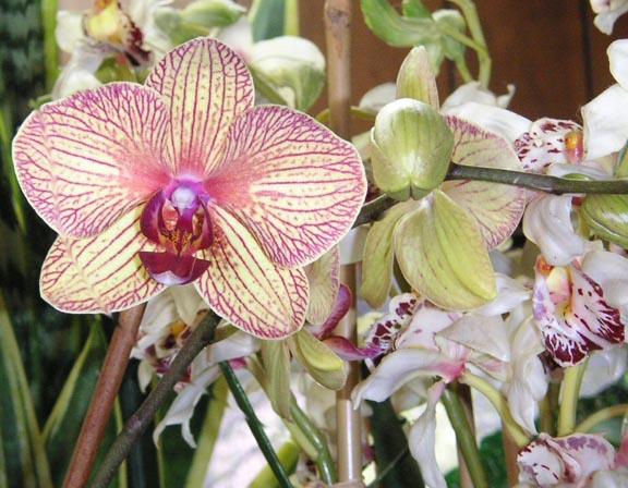 Februaryorchid