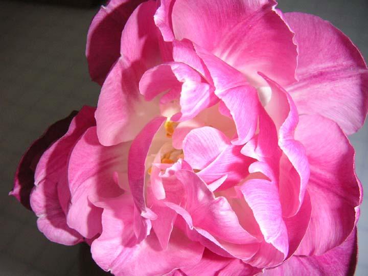 Tulipsb2